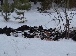 Под Борисоглебском подыхает элитный скот - вороны, собаки и лисы лакомятся мраморной говядиной